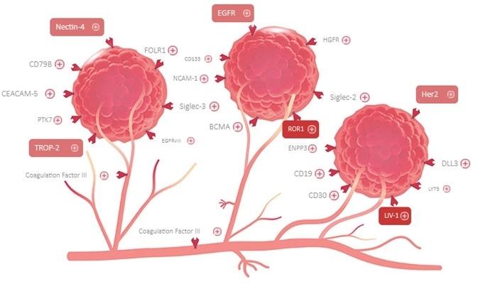 High bioactivity proteins for antibody drug conjugate (ADC) development