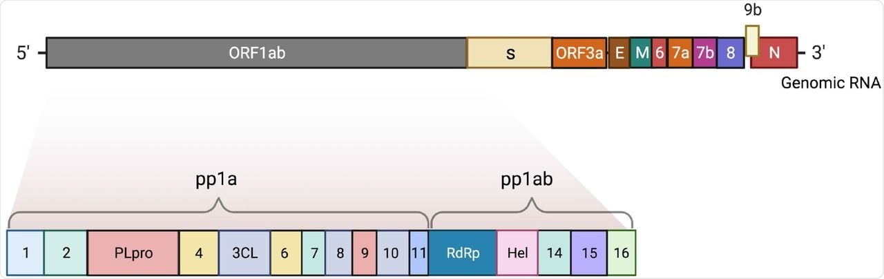 The complete genome of SARS-CoV-2. The 5' end consists of a large gene region ORF1ab and its non-structural proteins (nsp1-16). The 3' end compromises the structural proteins (nucleocapsid, membrane, envelope, spike) and other open-reading-frame (ORF) proteins. The figure was created with BioRender.com.