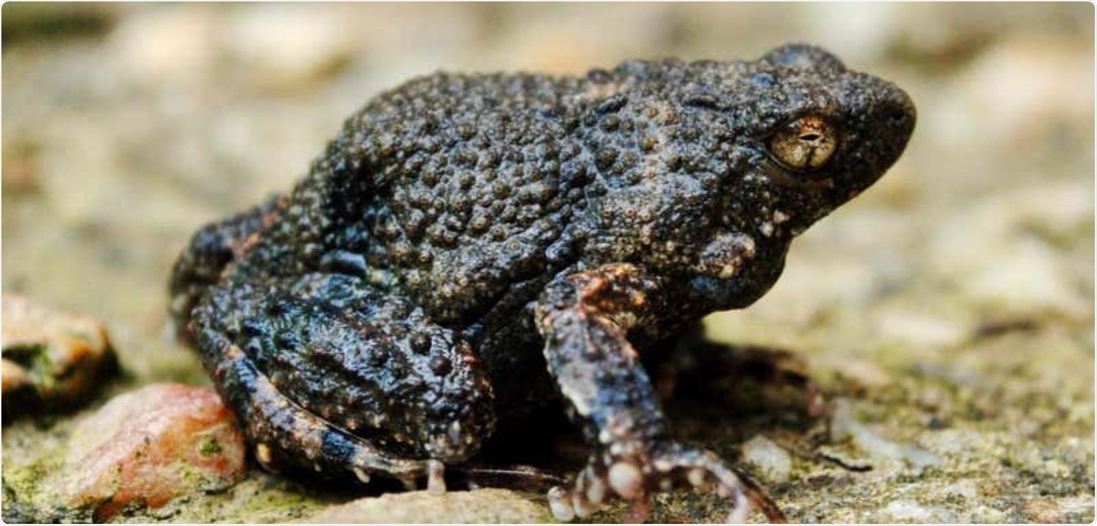Researchers use amphibian foam to deliver drugs for the first time