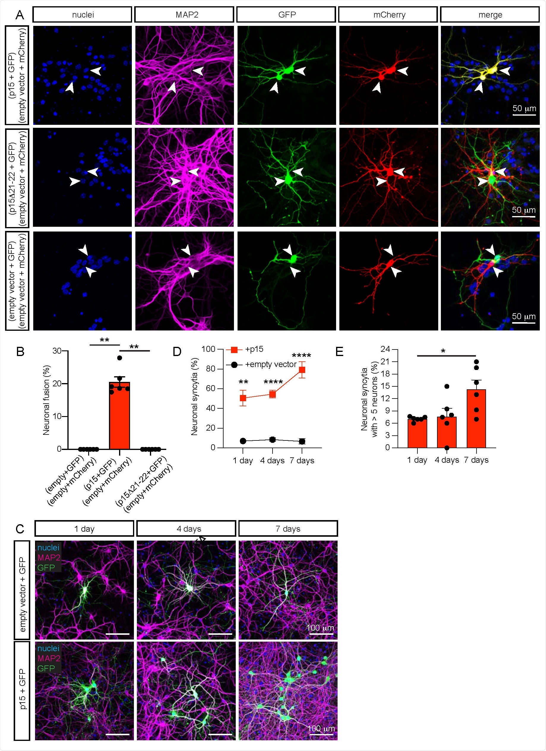 Expression of p15 induces fusion of murine neurons in culture. a, Representative images of fused neurons (upper row panels) identifiable with GFP (green) and mCherry (red) fluorescence appearing simultaneously in adjacent neurons (yellow in the merge panel), or non-fused control neurons (middle and lower row panels) with green and red fluorescence in adjacent neurons. Two populations of hippocampal neurons expressing either p15 and GFP, or empty vector and mCherry were cultured together for 7 days (7 DIV). In control conditions, p15 was substituted by the non-fusogenic mutant p15Δ21-22, or by the empty vector. Immunocytochemistry for nuclei (blue), neuronal MAP2 (magenta), GFP (green) and mCherry (red). b, Quantification of neuronal fusion as the percentage of transfected neurons that fuse (yellow) when two neurons are in proximity (£ 200 µm). c, Representative images of neurons illustrating the propagation of fusion over time (upper panels). Hippocampal neurons were co-transfected at 7-10 DIV with p15 and GFP (or empty vector and GFP in control, lower panels), and were cultured for 1 day, 4 days or 7 days. Immunocytochemistry for nuclei (blue), MAP2 (magenta) and GFP (green). d, Quantification of neuronal syncytia as the percentage of interconnected neurons within a distance of £ 200 µm. e, Quantification of the average number of interconnected neurons per syncytium containing more than 5 neurons. Data in b are displayed as mean ± SEM, n > 150 neurons analyzed in 6 independent dishes from > 2 cultures, One-way ANOVA Kruskal-Wallis test followed by Dunn's post hoc test in e comparing all groups to empty vector control. Data in d and e are displayed as mean ± SEM, n > 350 neurons analyzed in > 4 independent dishes from 4 cultures. Two-way ANOVA in d followed by Geisser-Greenhouse correction and the Šidák post hoc test comparing treatments (+ empty vector vs + p15) within each condition (days in culture). One-way ANOVA Kruskal-Wallis test followed by Dunn's post hoc t