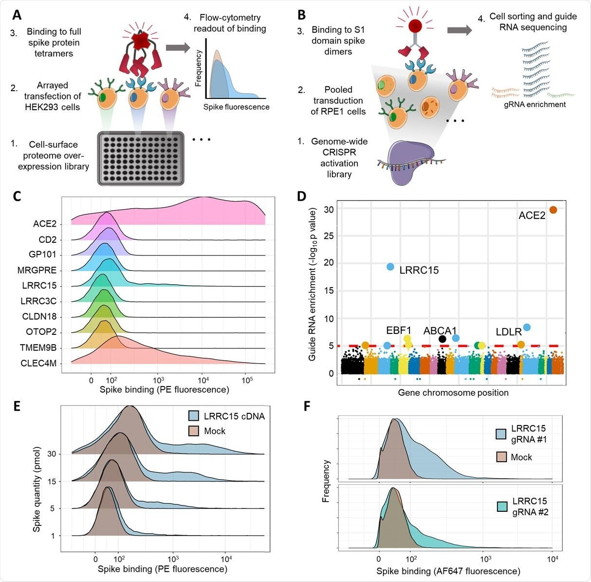 Arrayed transmembrane protein screening and pooled genome-wide CRISPR activation screening identify LRRC15 as binding SARS-CoV-2 spike protein. (A) Schematic of arrayed cell-based screening to identify host factors that cause SARS-CoV-2 spike protein binding. HEK293 cells were transfected in individual wells of microtiter plates with full-length cDNA constructs encompassing a near-comprehensive library of human membrane proteins. Each well in the array was tested for binding to fluorescent tetramers of full-length SARS-CoV-2 spike by flow cytometry. (B) Schematic of pooled CRISPR activation screening. RPE1 cells expressing a SunTag CRISPRa system were transduced with guide RNAs to activate transcription of all genes in the human genome. Cells that bound to Fc protein fusions of the spike S1 domain were sorted by FACS and sequenced to measure guide RNA enrichment.