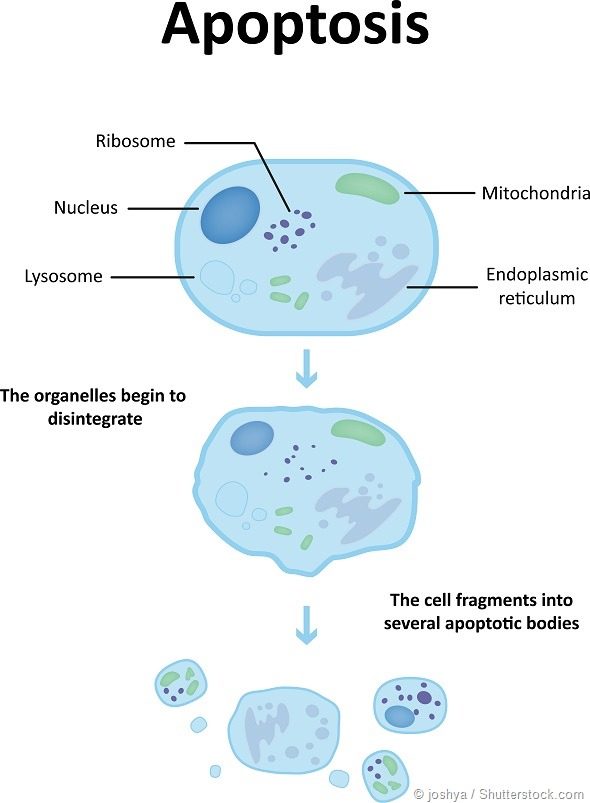 Apoptosis Diagram