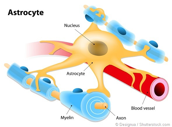 Astrocyte - a type of glial cell