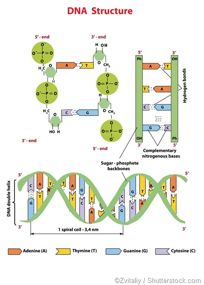 Estructura de la DNA