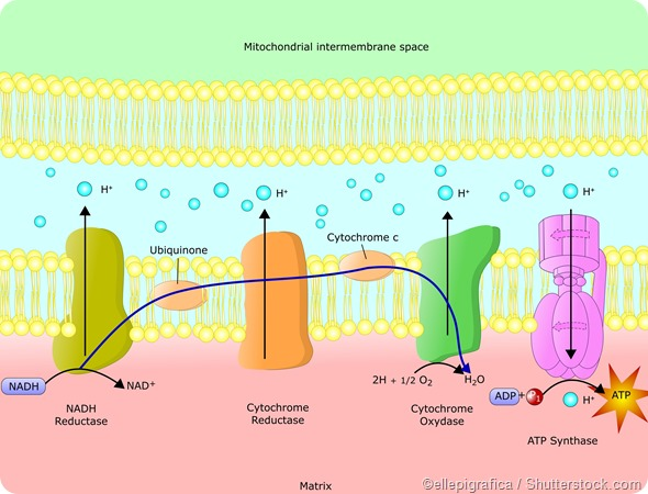 Electron transport chain - ATP production