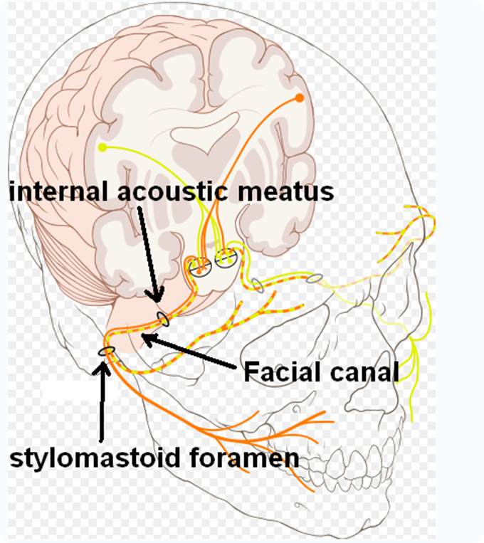 Nervo cranico facciale