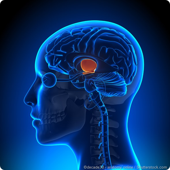Hypothalamus brain