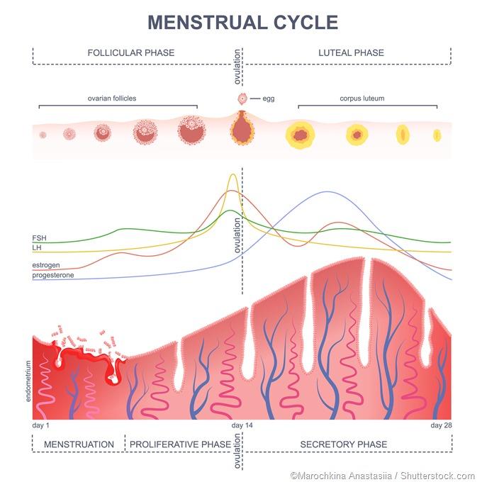 Controle hormonal do ciclo de Menstral