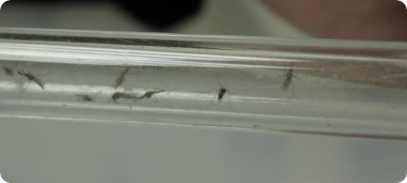 Mosquito 3 resized