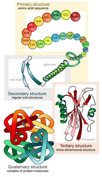 Fasi di piegatura della struttura della proteina - LadyofHats, commons.wikimedia.org