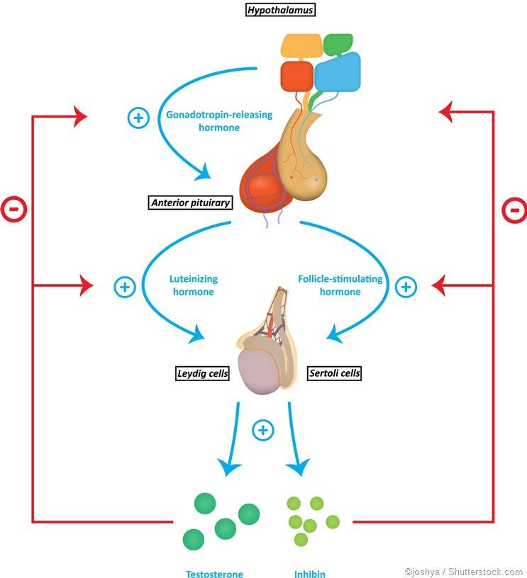 Hormonas da produção do esperma