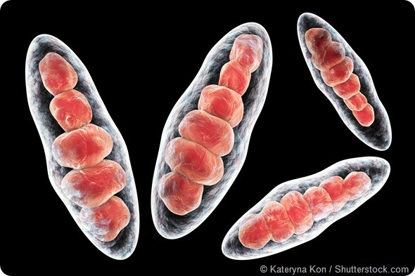 Tinea ringworm