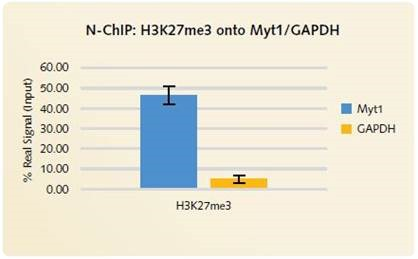 N-ChIP H3K27me3 onto Myt1/GAPDH: High levels of enrichment is produced using the Chromatrap® Native ChIP Kit onto the positive gene target MYT1. Low signal is produced for the negative gene target GAPDH, highlighting the highly specific enrichment of H3K27me3 onto the positive gene loci.