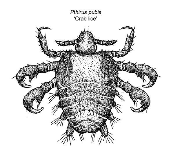 poux de crabe