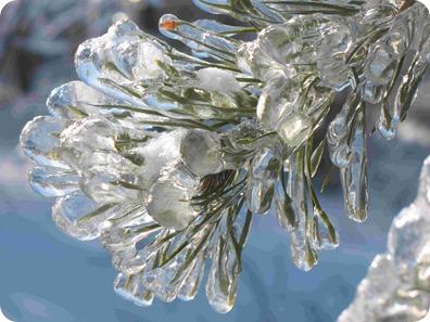 pinho da árvore do gelo