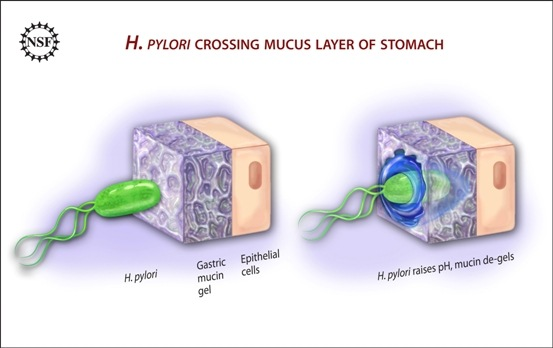 Contact with stomach acid keeps the mucin lining the epithelial cell layer in a spongy gel-like state. This consistency is impermeable to the bacterium Heliobacter pylori. However, the bacterium releases urease which neutralizes the stomach acid. This causes the mucin to liquefy, and the bacterium can swim right through it. Credit: Zina Deretsky, National Science Foundation