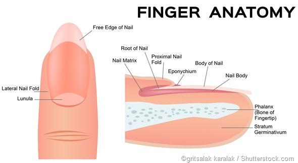 o prego e o dedo derrubam a anatomia