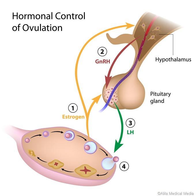 controle do hormnal da ovulação