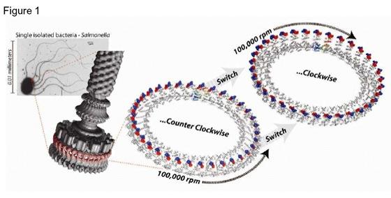 tiny motors in bacteria propel