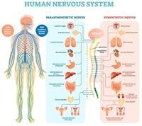 Cuál Es El Sistema Nervioso