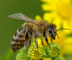 Honey bees have better vision than previously known