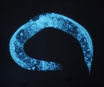 Cornell University-led study creates new standard genome for widely researched worm