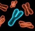 Chromosomes may be entangled, research finds