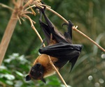 Experimental antiviral drug completely protects monkeys from Nipah virus
