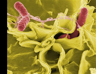 Salmonella causes nearly one in three foodborne outbreaks in the EU