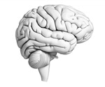 Damage to the left half side of brain may make a right-handed person more susceptible to infection