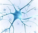 Study finds novel therapeutic strategy that preserves neuromuscular synapses in ALS mouse model