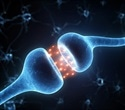 Researchers identify control mechanisms of synapse formation