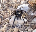 Tarantula venom could help provide relief for patients suffering from Irritable Bowel Syndrome