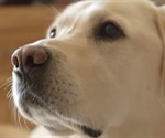The scent dogs smell on diabetics' breath could offer key to new tests