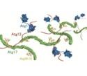 Researchers reveal molecular mechanism of autophagy initiation