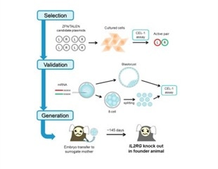 Researchers develop first non-human primate X-SCID models using genome editing techniques