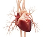 Diabetic or obese patients suffering advanced heart failure have higher levels of fat embedded in their hearts