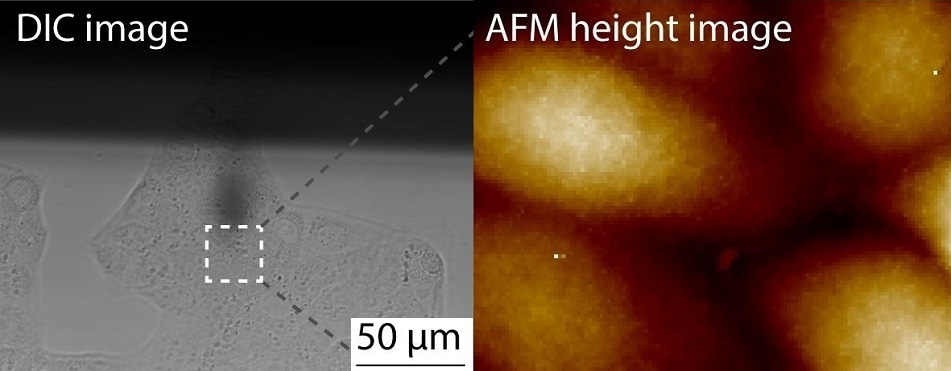 Probing living cells with AFM