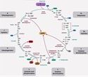 Citric Acid Cycle Regulation