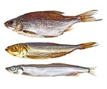 Study shows absence of zoonotic parasitic worms in European farmed fish