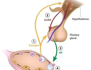 Gonadotropin Hormones