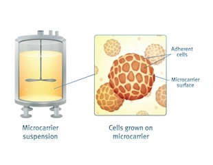 Using NucleoCounter® Instruments to Monitor Microcarrier Cultures