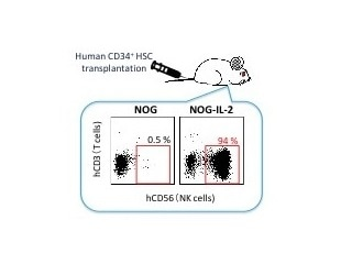 Scientists develop humanized mouse model for analyzing functions of NK cells in vivo