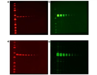Using Syngene G:BOX Chemi IR6 Imaging System to Multiplex Between DyLight® IR 680 and 800 Dyes