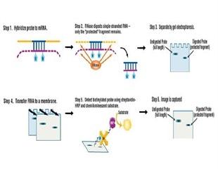 Detection of Low Abundance mRNA using G:BOX iChemi XR and XT Image Analyzers
