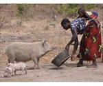 CYSTINET-Africa project aims to find new strategies against pork tapeworm infection