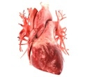 Human cardiac-muscle patches  improve recovery from heart attack injury