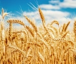 Identification of wheat resistance gene promotes durable solution for controlling food security threat