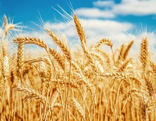 Modern wheat does not impair gastrointestinal health in mice compared with heirloom variety