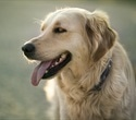 Dogs may protect children from allergic eczema and asthma